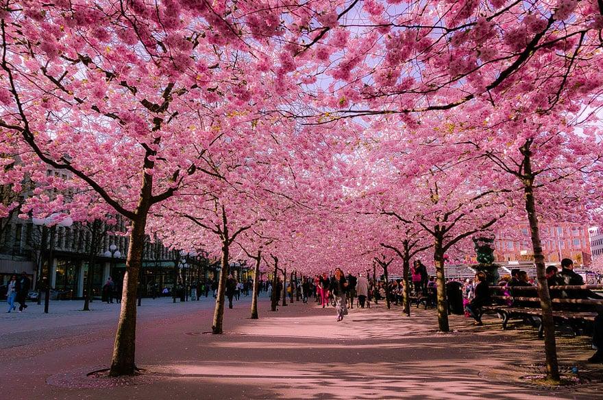 Festival de cerejeiras no jardim botânico em Nova York